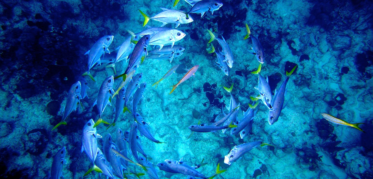 School of Fish Swimming in Circle
