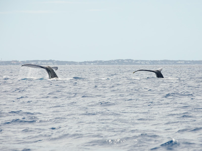 Two Whale Tails Above the Surface